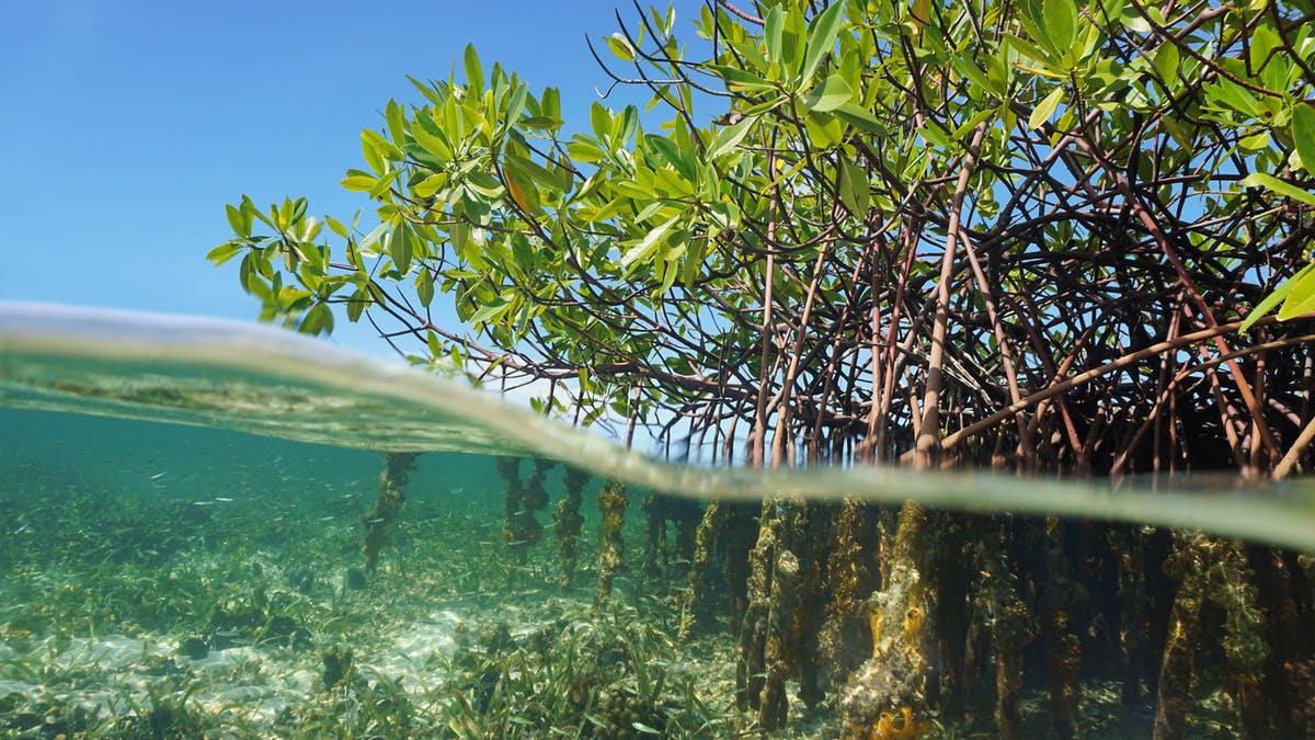 13,64 Ha Pantai Penajam Paser Utara Direhabilitasi Mangrove