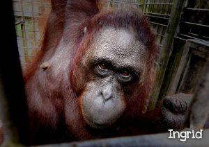 BOS lepaskan Lima orangutan ke Hutan Kehje Sewen